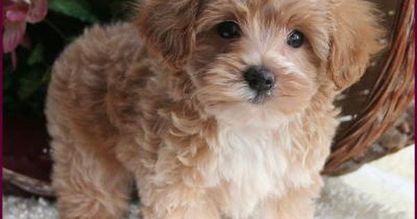 Teddybear Cute Animals Maltese Poodle Puppies Maltipoo Puppy