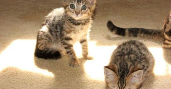 10 Week Old Brown Spotted Kittens 2 Left Green Eyes Kittens Cats And Kittens Kittens Cutest