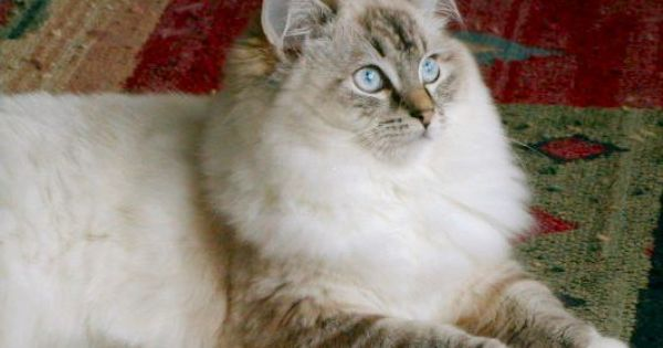 Seal Lynx Mitted Ragdoll Ragdoll Cats For Sale Ragdoll Cat Cat Lover Quote