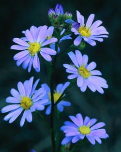 Sky Blue Aster Grownative Com Flower Garden Plans Native Plant Gardening Plants