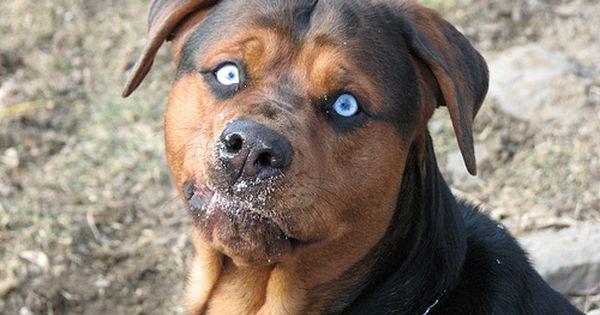 My Dad S Dream Dog Pitbull Rottweiler German Shepherd Mix