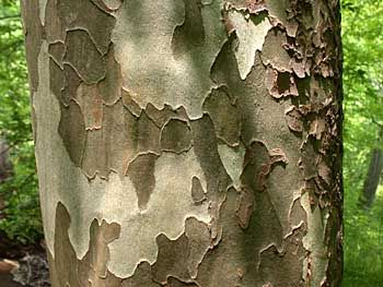 American Sycamore Platanus Occidentalis Bark Such A Beautiful Trunk I Am Planting The Seeds From Two Seed Balls London Plane Tree Plane Tree Sycamore Tree
