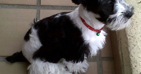 Schnoodle Dog Breed Information And Pictures Poodle Cross Breeds Schnoodle Dog Schnoodle