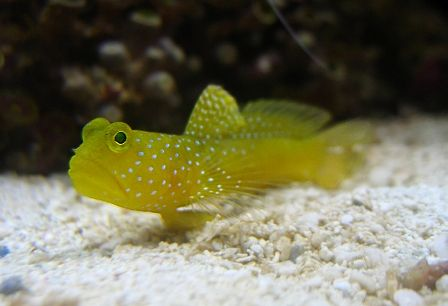 Shrimpgoby Yellow Watchman Fish Salt Water Fishing Salt Water Fish
