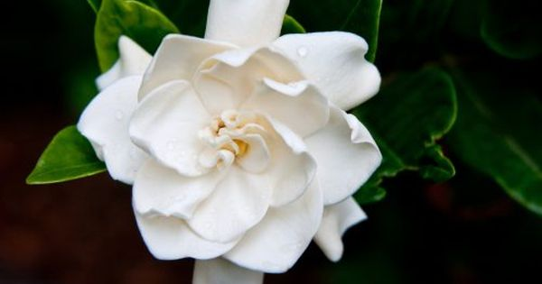 Flowers That Look Like Roses Gardenia Flower Hd Wallpapers Wallpapers Download High Resolution Wallpapers Flowers Flower Wallpaper Flowers Photography