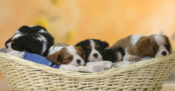 Five Cavalier King Charles Spaniel Puppies 7 Weeks Old Sleeping In Bas King Charles Cavalier Spaniel Puppy Cavalier King Charles Spaniel King Charles Spaniel