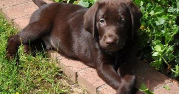 Chocolate Lab Puppy The Crossed Paws Labrador Retriever Lab Dogs Labrador