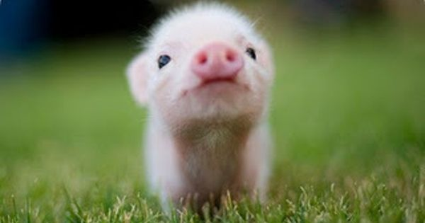 Teacup pig. (I know pigs are gross but if every little pig
