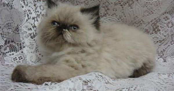 Hello World Persian Kittens Persian Cat Himalayan Kitten