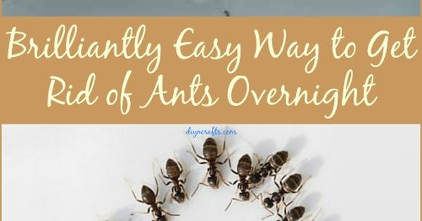 you won t believe how easy it actually is to get rid of ants overnight eucalyptus oil ants. Black Bedroom Furniture Sets. Home Design Ideas