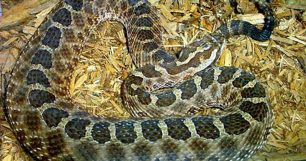 Meet New York S 17 Slithery Snakes 3 Are Venomous Potentially Deadly Snake New York Attractions New York