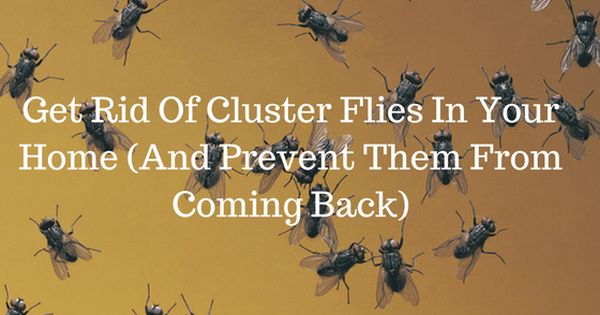 Get Rid Of Cluster Flies In Your Home And Prevent Them From