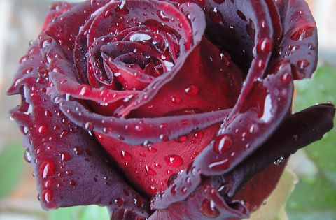 "Black Baccara Rose 'The infamous ""black"" rose symbolizing tragic other bad things."