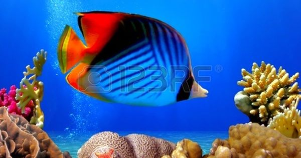 Threadfin Butterflyfish Chaetodon Auriga And Coral Reef Red Colorful Fish Underwater Wallpaper Fish