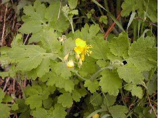 Glistnik Jaskolcze Ziele Autor Jakub Babicki Kuracjusz24 Pl Healing Plants Medicinal Herbs Herbalism