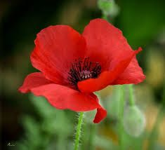 Resultado de imagen de poppy | Flower pictures, Poppy flower, Red flowers