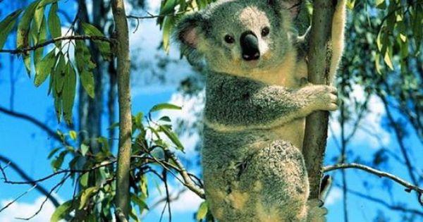 What Food Does A Koala Bear Eat
