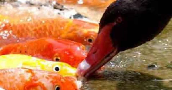 A black swan feeds its fish friends every day to the amazement