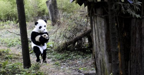 Just a man dressed as a panda carrying a baby panda through