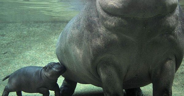River horse is another name for hippo. Thank you Discovery Channel.
