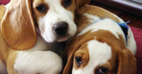 Beagles Because Awwww Beagle Dog Beagle Puppy Cute Beagles