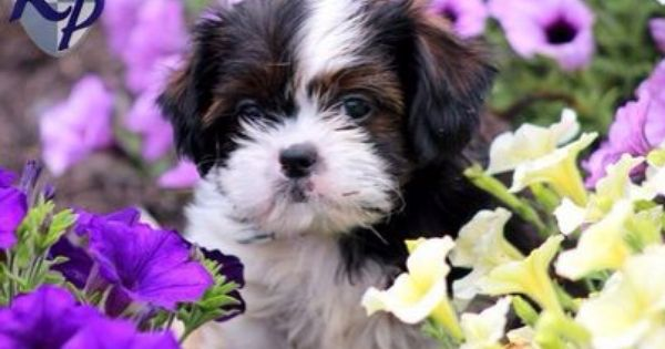 Pin By Ma Mini On Shih Tzu Puppies Shih Tzu Puppy Shih Tzu Dog