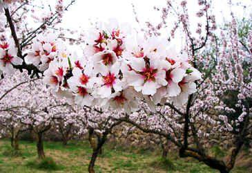 Pavdevelopment Com Forever Flowers Almond Tree Flowers