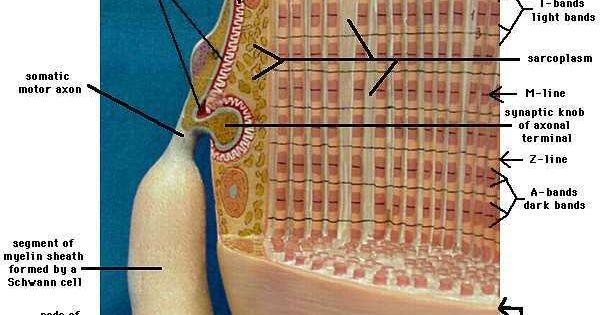 Skeletal Muscle Labeled Diagram neuromuscular junction...