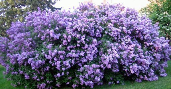 Lilac Bush Planting Flowers Plants Flowering Bushes