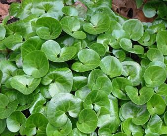 European Ginger Asarum Europeum Polished Heart Shaped Leaves Mark This Sought After Desirable Ground Co Ground Cover Plants Plants For Shady Areas Perennials