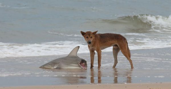 Dingo Vs Shark Australia Animals Australian Animals Cute