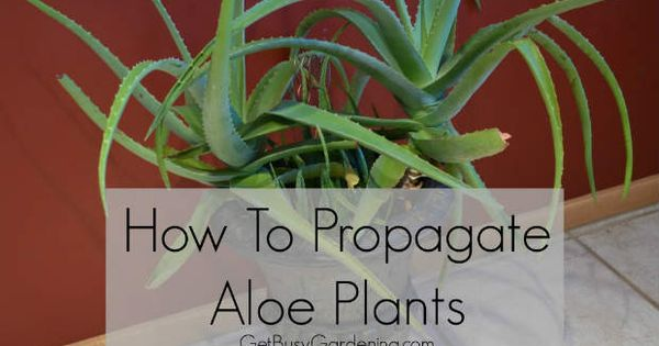 it is easy to propagate aloe vera plants so you can have a living growing natural first aid burn. Black Bedroom Furniture Sets. Home Design Ideas