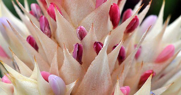 .༺♥༻ BEAUTIFUL Flowers ༺♥༻ **Aechmea fasciata | photo Alan Lamb