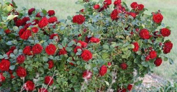 Zone 3 Rose Bushes Garden Musings Hope For Humanity Shrub Roses Bush Garden Rose Bush