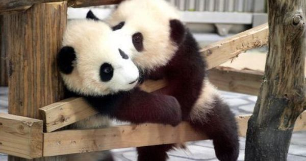 baby panda steals a kiss