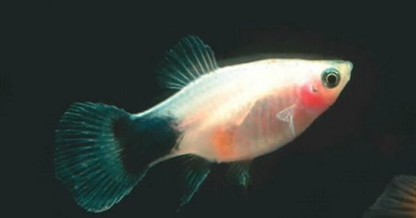 White Mickey Mouse Platy Tropical Fish Tropical Fish Store Fish