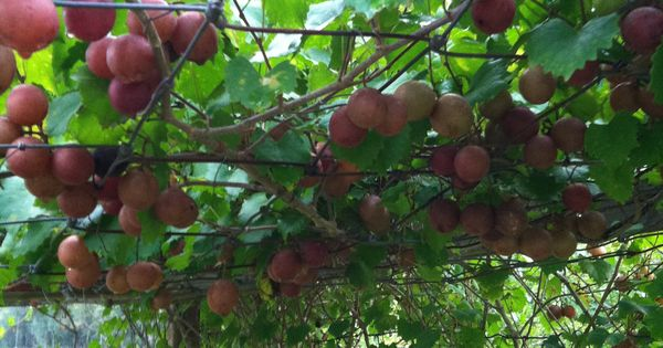 how to grow muscadine grapes plants