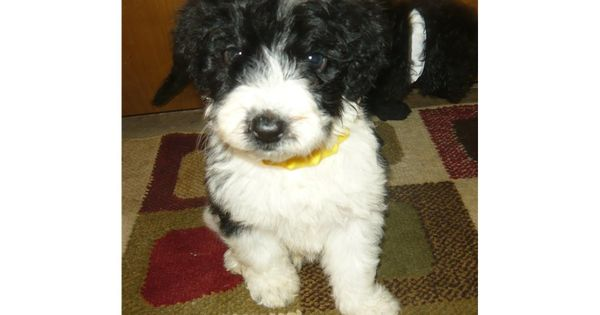 You Ll Love This Male Portuguese Water A Porti Doodle Dog Puppy Looking For A New Home Water Dog Portuguese Water Dog Puppies