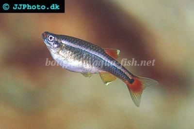 White Cloud Fry Will Eat Small Portions Of Hard Boiled Egg Yolks According To This Site White Cloud Minnow Fish Freshwater Fish