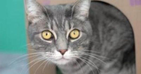 Adopt Bandit From The Seattle Humane Society This 6 Year Old Gray Tabby Shorthair Is Happy To Snuggle On Your Knees In Exchange Fo Tabby Humane Society Pets 3