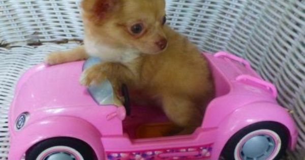 Chihuahua Long Hair Fawn Merle Chihuahua Puppies For Sale
