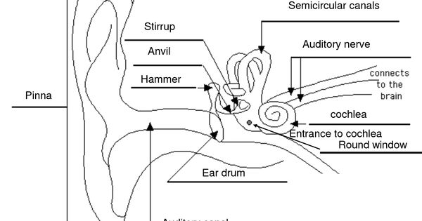 labelled diagram of the ear