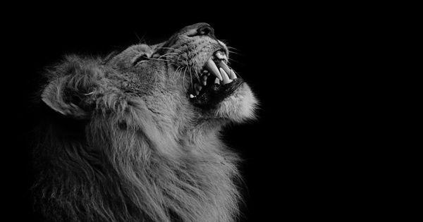 Wallpaper Et Fond D Ecran Lion Animal Portrait Fond Ecran Animaux Lion Noir Et Blanc Fond D Ecran Lion