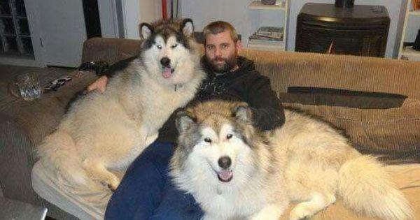 Big Malimute Giant Alaskan Malamute Big Dogs Malamute Dog