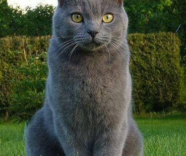 Chatauxcat Different Grey Cat Breeds Grey Cat Breeds Cat Breeds Chartreux Cat
