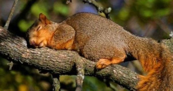 Sweet Sleeping Squirrel I Love Squirrels They Are So Funny To Watch While They Are Playing Sleeping Animals Cute Squirrel Animals Beautiful