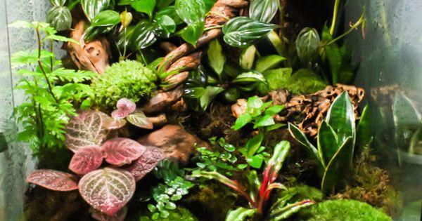 Kkinetic i got a bit moss crazy on my planted vivarium - Begonia argentata ...