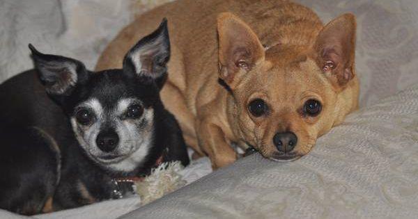 Lost 3 Dogs 2 Chihuahuas And 1 Havanese Washington Blvd At