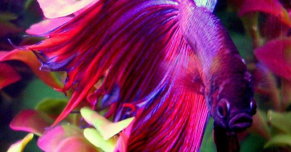 most beautiful betta fish in the world google search