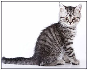 Precioso Cute Baby Cats Silver Tabby Kitten Kittens Cutest